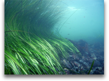 Pacific northwest eel grass